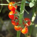 夏野菜の栽培!初心者でも簡単なベランダやプランター栽培方法!
