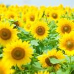 ひまわりの花言葉の意味や由来は?贈る際に喜ばれる英語の書き方とは?
