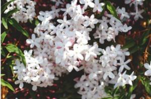 Jasmine tea2